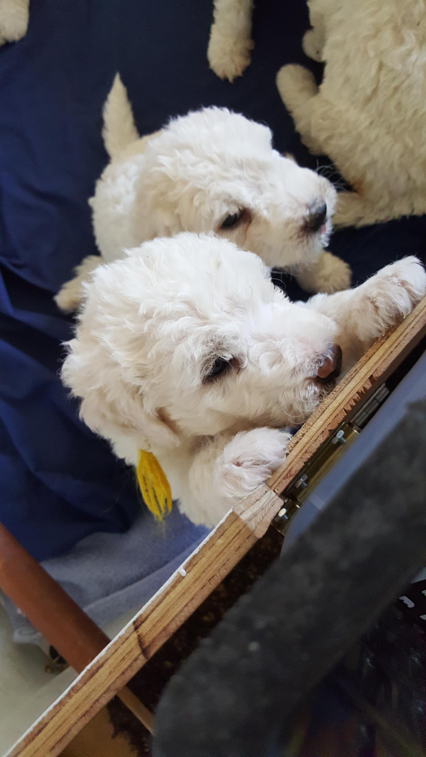Komondor Puppies For Sale Lynda Brothers